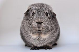 guinea-pig-640498_1280
