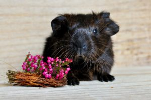 guinea-pig-658717_1280