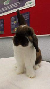 longstaff bunny