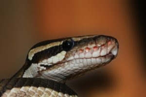 Royal Python with a blared background