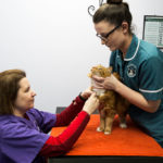 PATIENT BEING RESTRAINED FOR JUGULAR VENEPUNCTURE USING FELINE-FRIENDLY HANDLING TECHNIQUES
