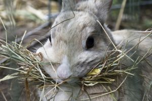 rabbit eating hay 2