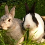rabbit pair 3