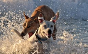 dogs playing in water