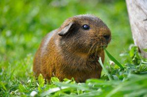 guinea-pig-498848_1280
